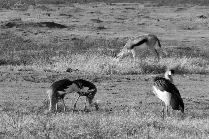 Grey crowned crane in the Ngorongoro crater black and white photography