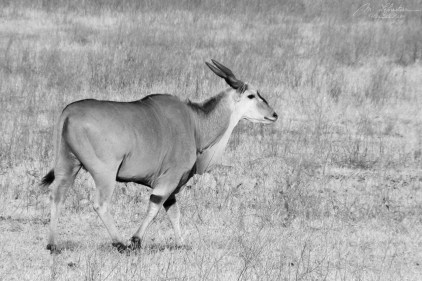 Eland seen during a game drive in the Ngorongoro crater