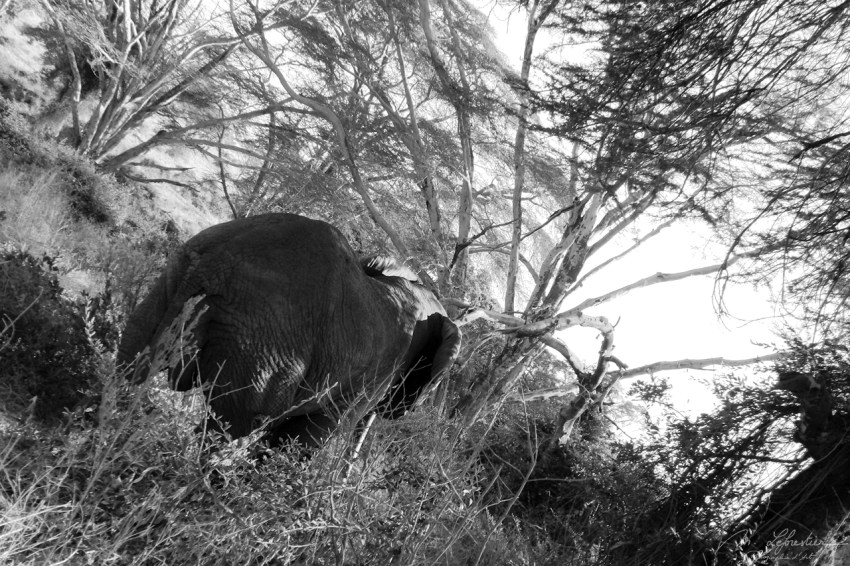 Elephant walking away in the trees in the Ngorongoro conservation area in Tanzania