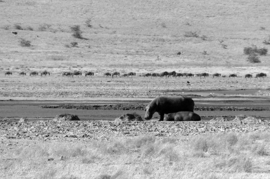 hippopotamus in the Ngorongoro crater in Tanzania