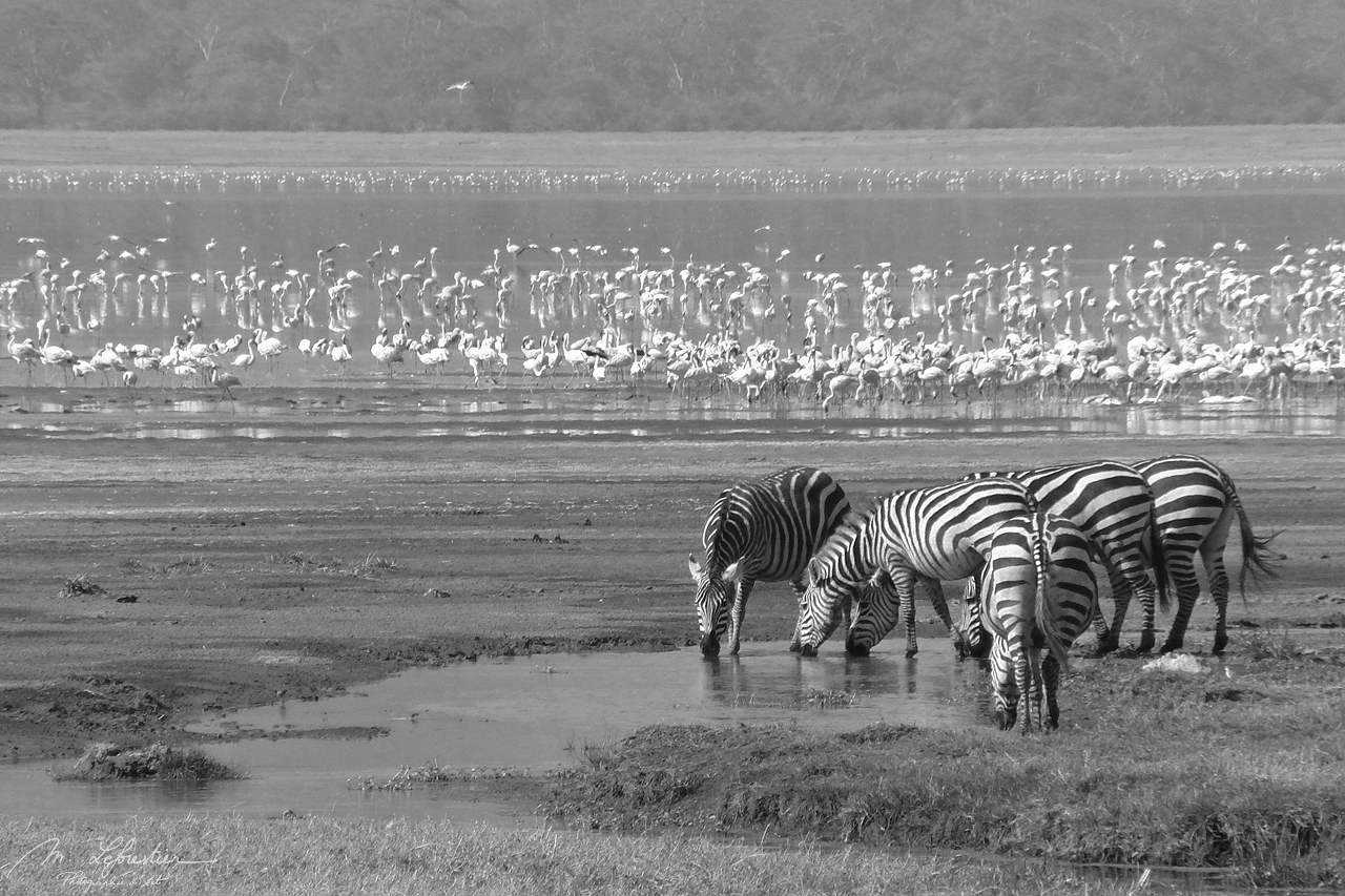 zebras and flamingos during a safari in the Ngorongoro conservation area in Tanzania