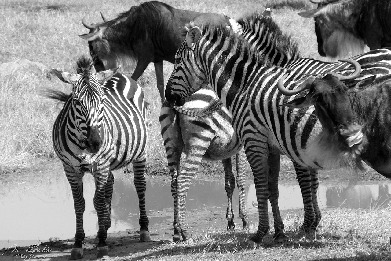 Zebras and wildebeests in the Ngorongoro crater black and white photography