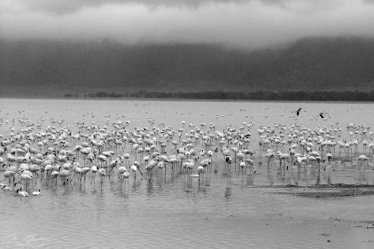 flamingos on the crater lake of the Ngorongoro conservation area in Tanzania