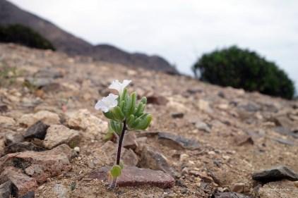 Atacama desert flower in Pan de Azúcar national park after the heavy floods in 2015