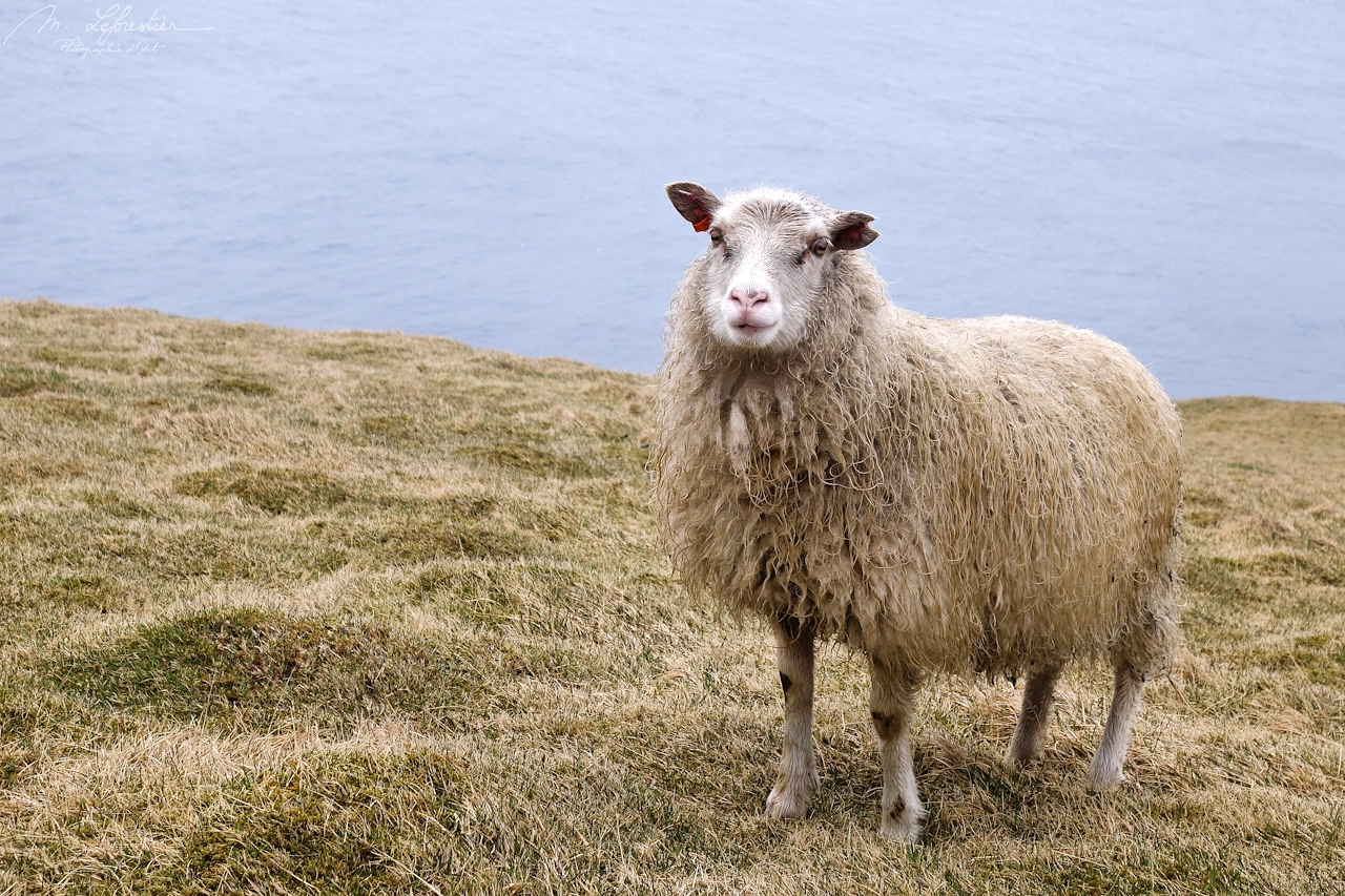 sheep staring at me in the island of Heimaey in Iceland