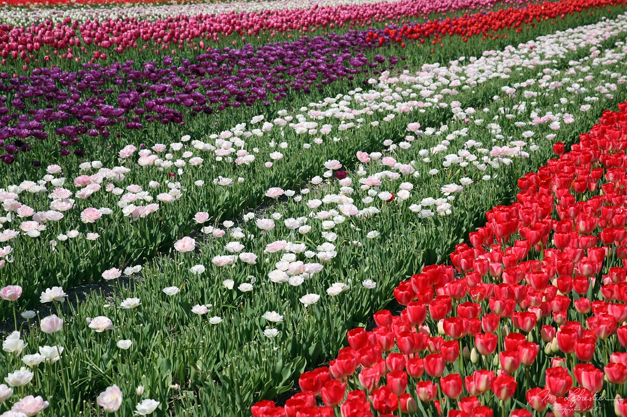 tulip field close by Lisse in the Netherlands