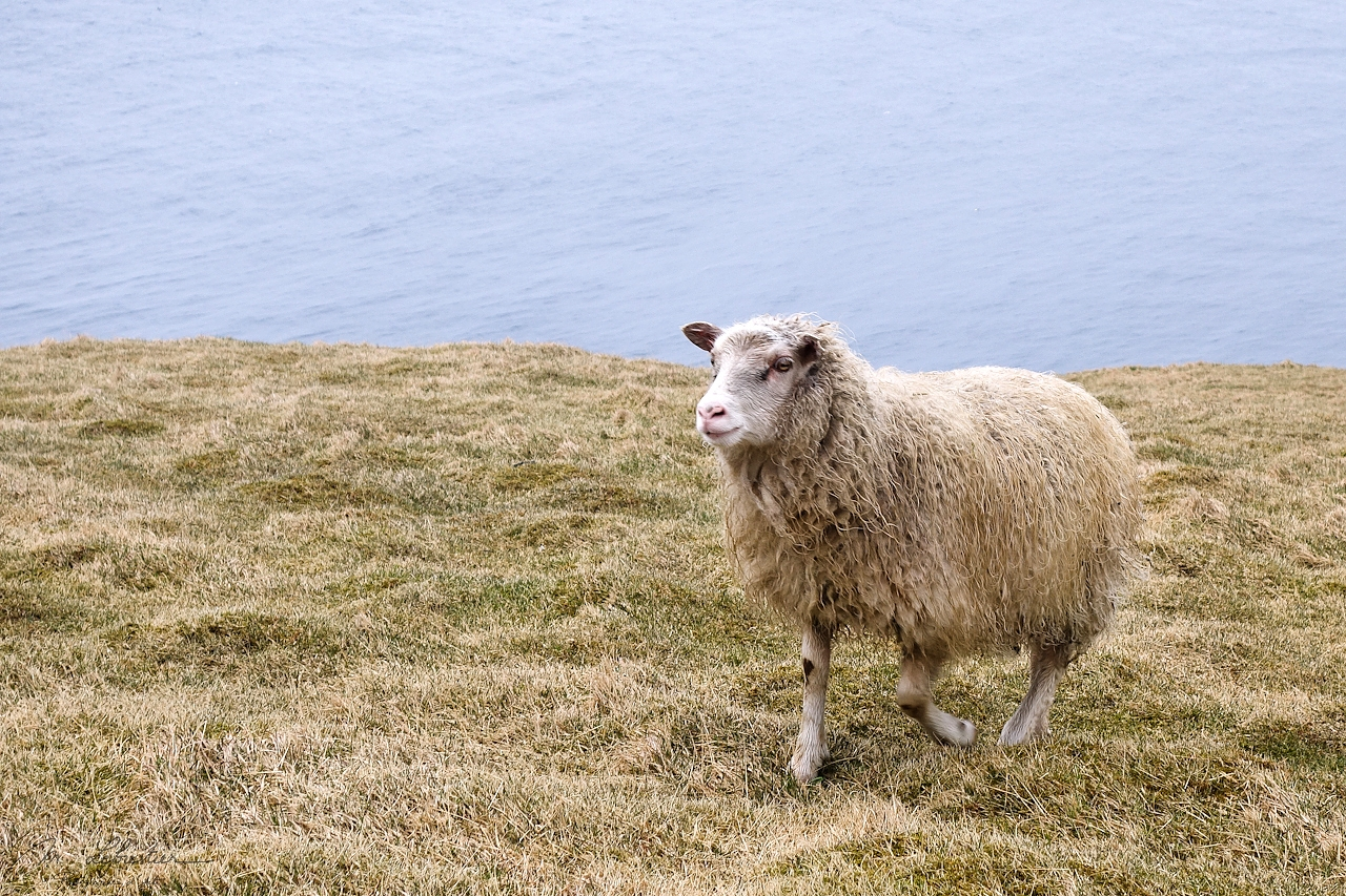 a sheep walking under the rain in Heimaey Island in Iceland