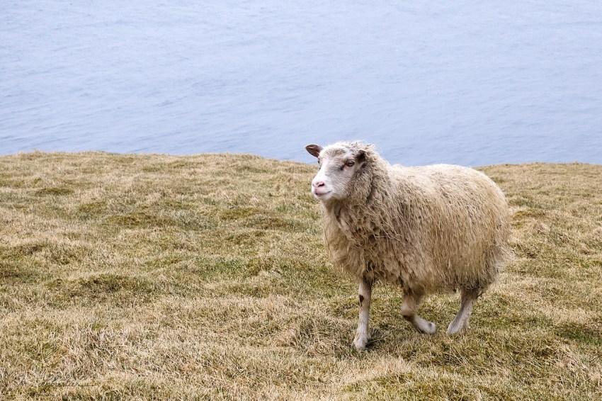 a sheep walking under the rain in Heimaey Island in Iceland