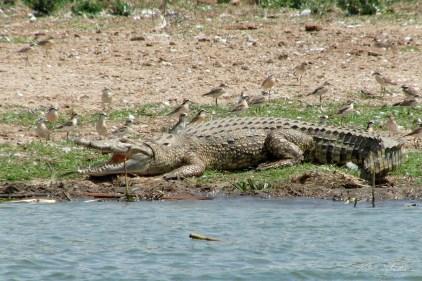 crocodile in the Kazinga Channel in Queen Elizabeth National Park in Uganda