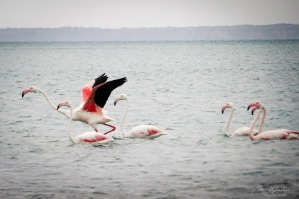 flamingos on the sea by the Bazaruto archipelago island in Mozambique during a stormy weather
