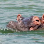 Hippopotamus breathing and making bubbles in the Kazinga channel of the queen Elizabeth national park in Uganda