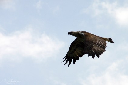 an eagle flying around before bird feeding in Langkawi island Malaysia