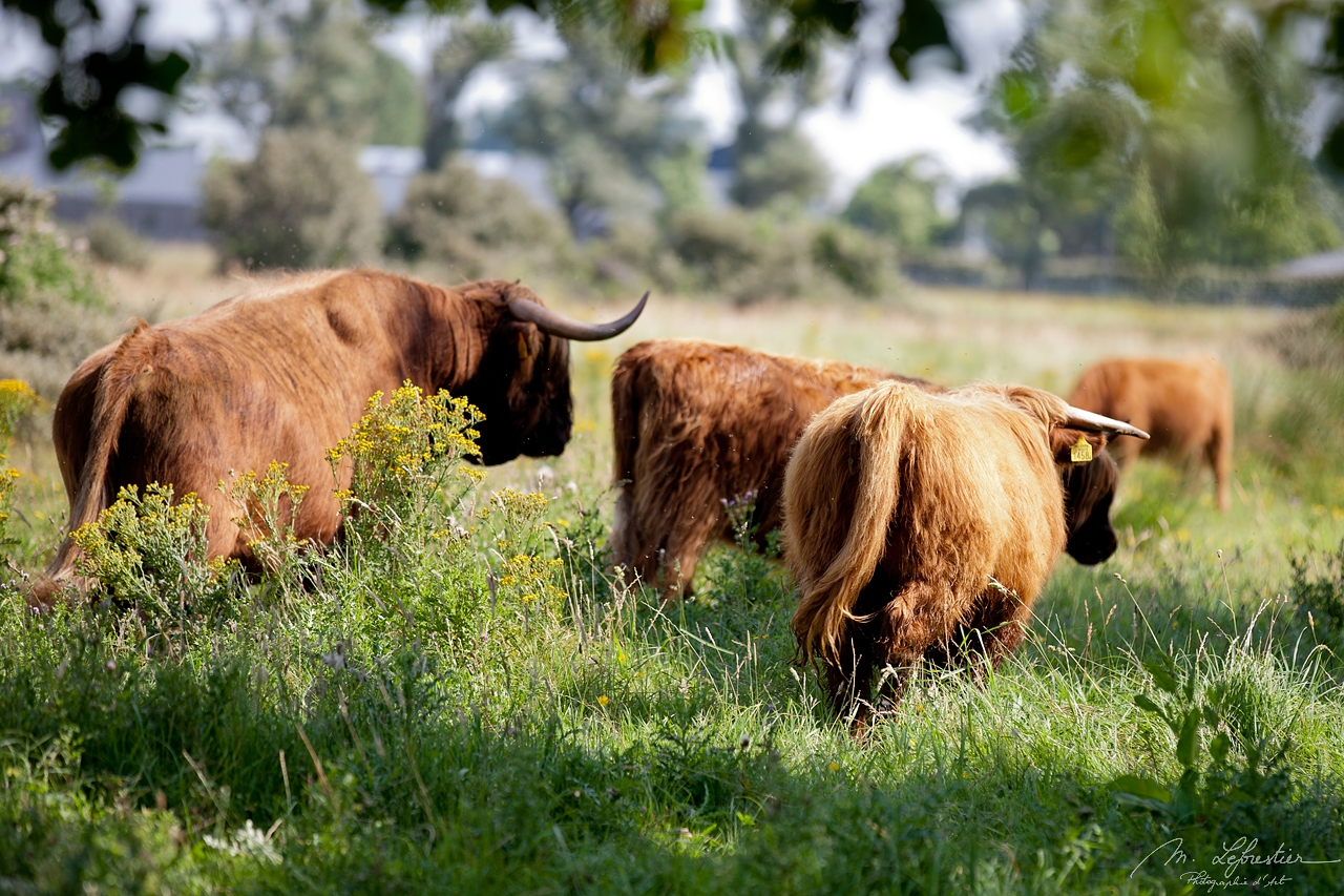 Scottish highlanders cattle walking in Lenteveugd nature reserve in Wassenaar in the Netherlands picture taken from the back