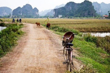 conical hat on a bike with cows and motorcycles in the background in Tam Coc Vietnam rice fields