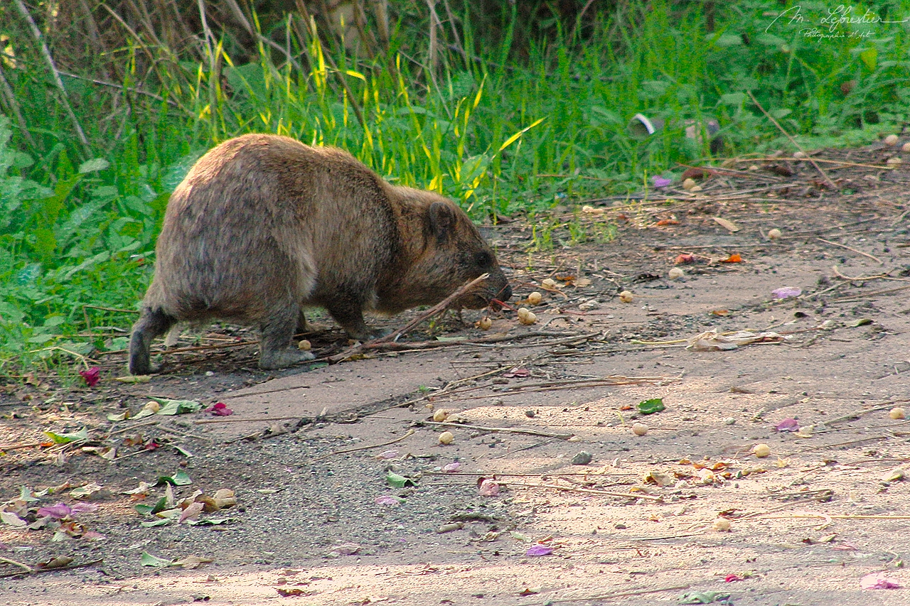 encounter with a rock hyrax also called cape hyrax or Procavia capensis in Israel