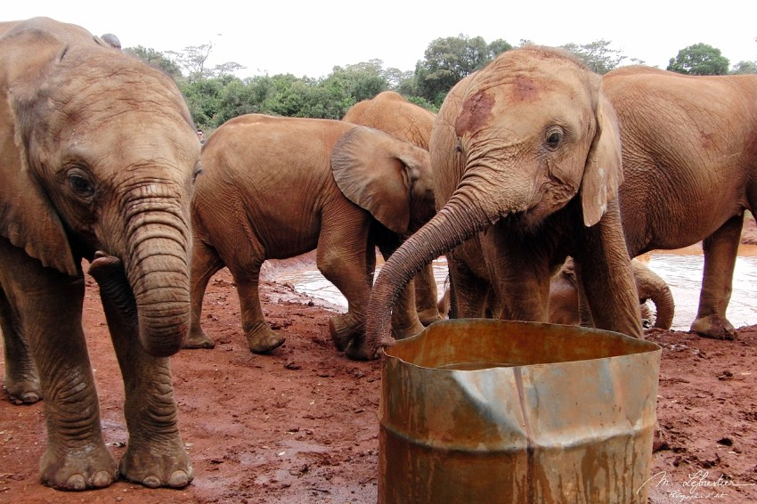cute baby elephants are drinking and playing in the mud at David Sheldrick wildlife trust center in Nairobi Kenya