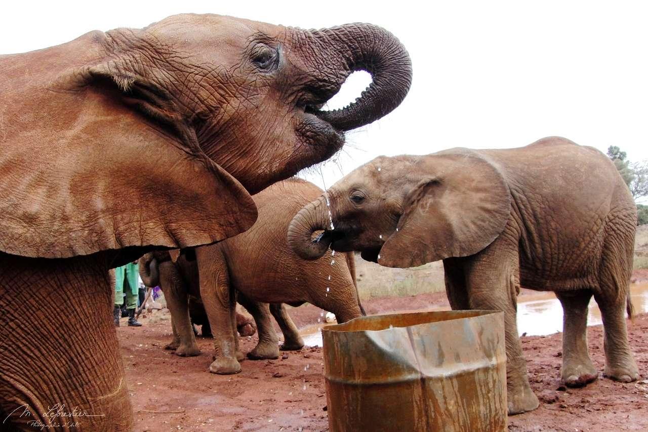 elephants drinking water at David Sheldrick wildlife trust center in Nairobi Kenya