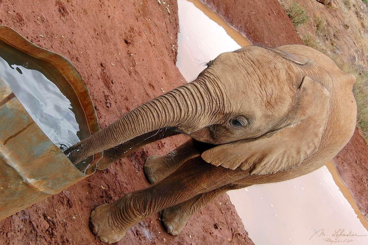 a rescued baby elephant is drinking water at David Sheldrick wildlife trust center in Nairobi Kenya