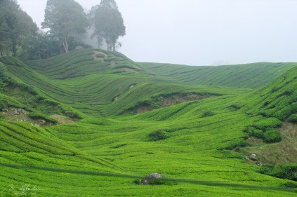 view of tea plantations in Cameron Highlands in Malaysia on a foggy day