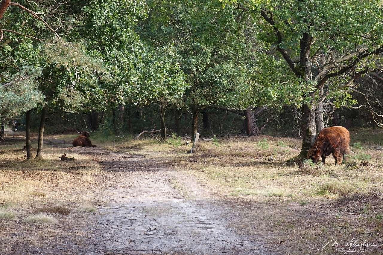 Brabants landschap: Stratumse Heide en Schotse highlanders in Eindhoven, Noord Brabant provincie