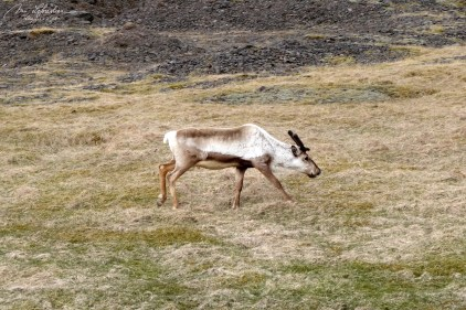 a reindeer roaming freely in the eastern part of Iceland