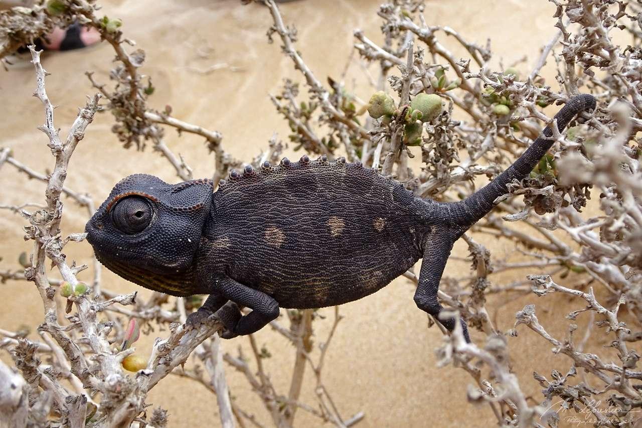 chameleon in the Namib desert, part of the little five