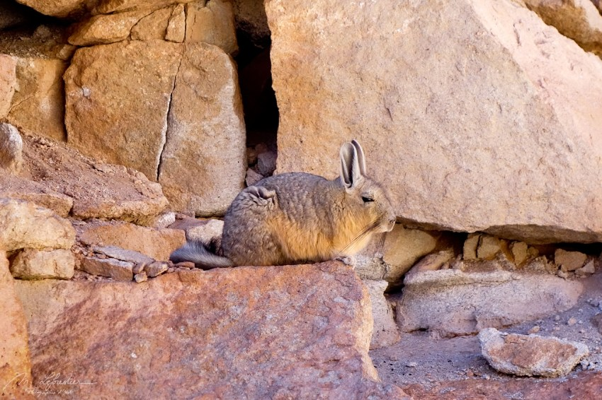 A viscacha in the bolivian desert in its natural habitat