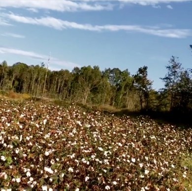 Cotton field in Monroe County, Alabama
