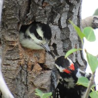 Little Hairy Woodpeckers