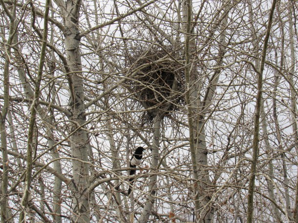 A black-billed magpie near his nest on April 3rd 2016 in the Inglewood Wildlands. I think he is Mr. Magpie and Mrs. Magpie is in the nest with the eggs. Mrs. Magpie does all the incubating and Mr. Magpie brings her food.
