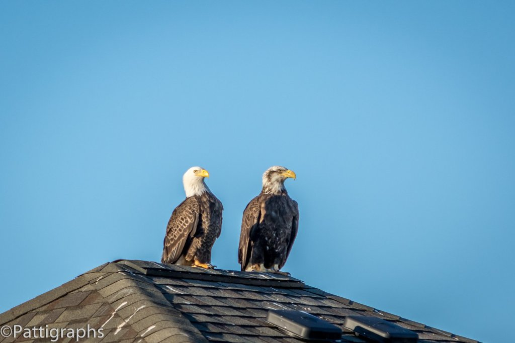 Bald Eagles In Myrtle Beach