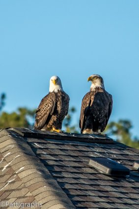 Bald Eagles Myrtle Beach
