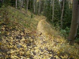 Aspen leaves near Salida