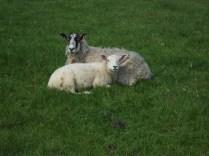 Nice to see ewe