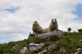 Sutherland sheep