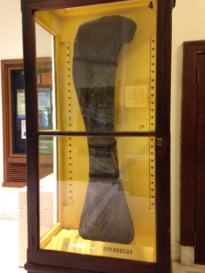 A large dinosaur bone