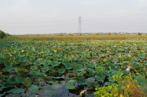 Flat wetland with lillies and pylon