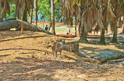Deer in Ross Island
