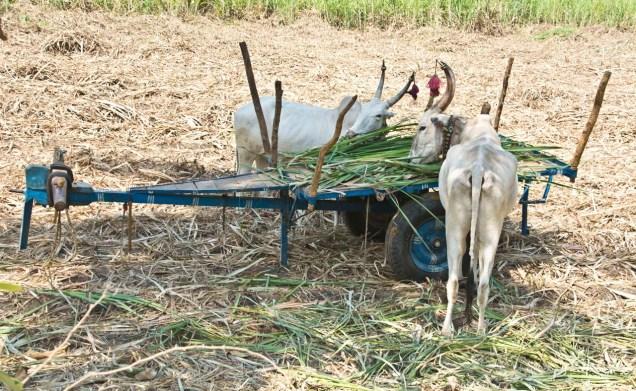 Ox Anegundi hampi village