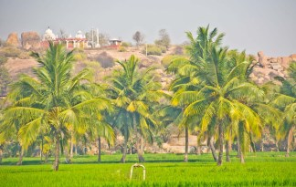 Rice farm hampi village
