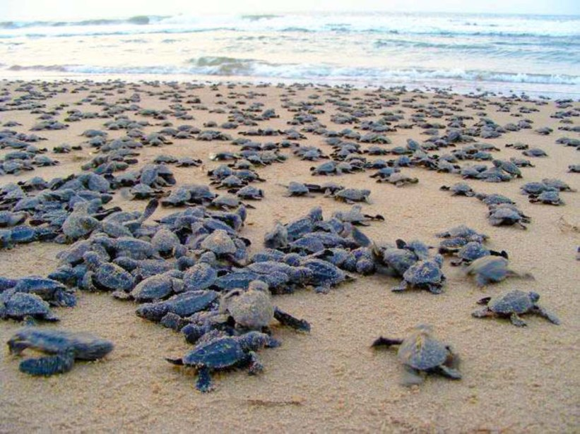 Baby Turtles Most Beautiful Places in India