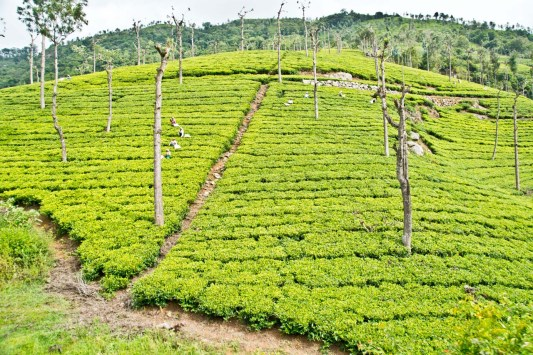 Tea gardens on the way from Ooty to Metupalaiyam