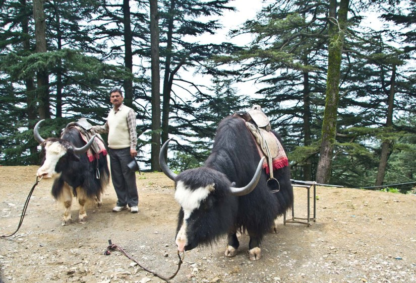 Pair of Black Yak on the way from Shimla to Kufri