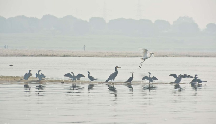 Birds in Ganga river