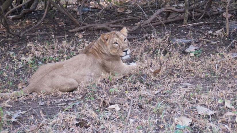 Lioness in Sasan Gir