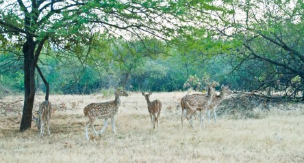 Spotted Deer group