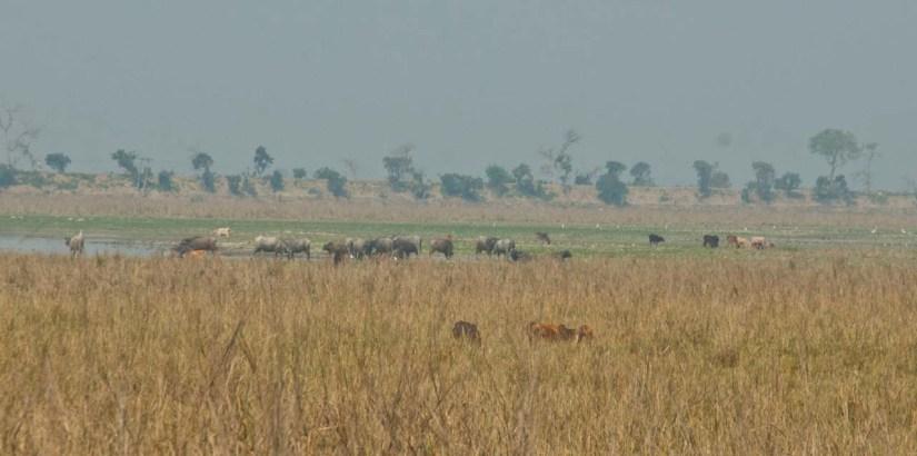 Animals in Pobitora