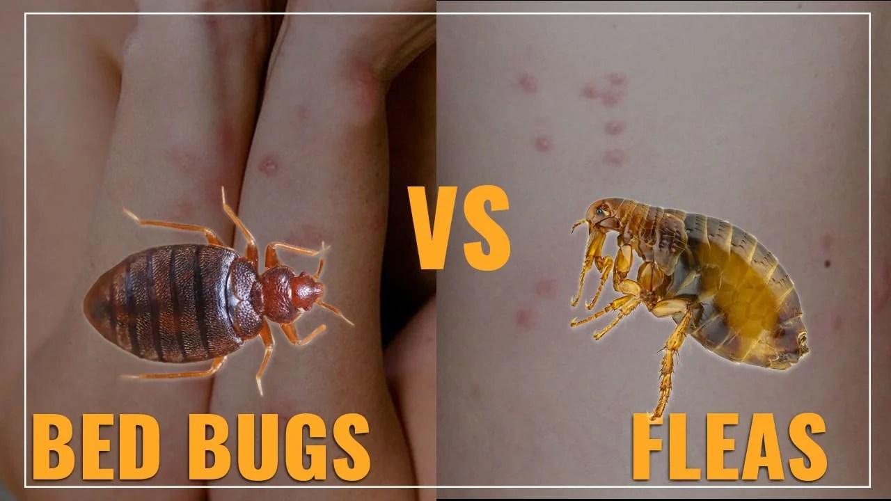 flea bites vs bed