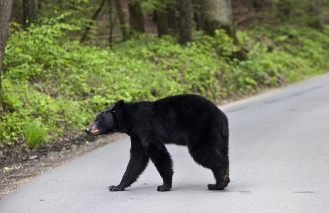 What to Do If You Encounter a Black Bear  Four Scenarios