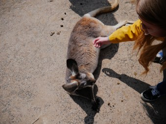 a kangaroo being petted